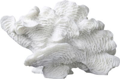 Coral, large fan
